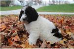 Picture of Dixie Female F1 Newfypoo