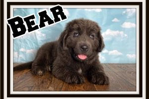 Bear  | Puppy at 13 weeks of age for sale