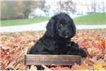 Picture of Davie Male F1 Newfypoo