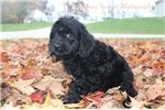 Picture of Daphne Female F1 Newfypoo