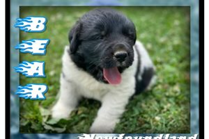 Bear  | Puppy at 6 weeks of age for sale