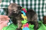 Picture of Brutus Male Norwegian Elkhound