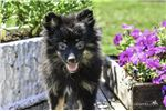 Picture of Snickers: Female ACA Pomeranian