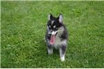 Picture of Trixie Female Pomsky
