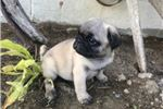 Picture of Jac Male Pug