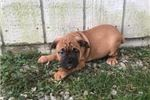 Picture of Lucy Female English Puggle