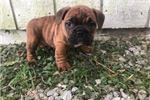 Picture of Dolly Female English Puggle