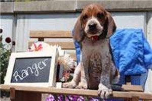 Redbone Coonhounds for sale