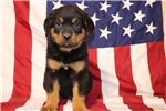 Picture of Maggie Female Rottweiler