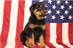 Picture of Rocky Male Rottweiler