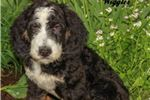 Picture of Wiggles Male F1B Bernedoodle