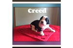 Picture of Creed saint bernadoodle