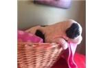 Picture of rowan saint bernadoodle