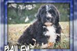 Picture of Bailey Male Saint Berdoodle