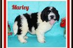 Picture of Marley Female Saint Berdoodle