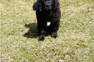 Bell | Puppy at 22 weeks of age for sale