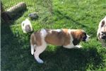 Picture of Babe Female Saint Bernard