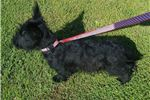 Picture of Zach: Male Scottish Terrier