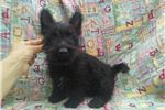 Picture of Minnie Female Scottish Terrier
