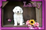 Picture of Lady Female Sheepadoodle