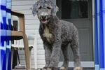 Picture of Teddy Bear Male Sheepadoodle