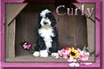 Picture of Curly Female Sheepadoodle