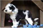 Picture of Rocky Male Sheepadoodle