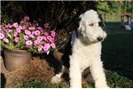 Picture of Patch Male Sheepadoodle