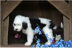 Picture of Mack Male Sheepadoodle