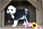 Picture of Glory Female Sheepadoodle
