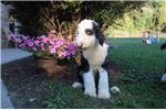 Picture of Chasper Male Sheepadoodle