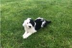 Picture of Panda: Male Sheepadoodle