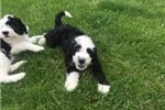 Picture of Blake: Male Sheepadoodle