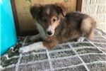 Picture of Todd Male Shetland Sheepdog