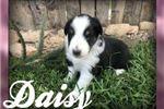 Picture of Daisy: Female Shetland Sheepdog
