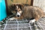 Picture of Sparky Male Shetland Sheepdog