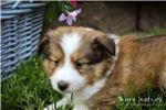 Picture of Troy: Male ACA Shetland Sheepdog