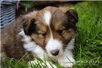 Picture of Trace: Male ACA Shetland Sheepdog