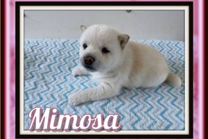 Picture of Mimosa