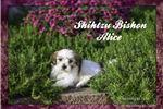 Picture of Alice: Female Shihtzu Bishon