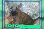 Picture of Toto: Cairn Terrier Male Puppy