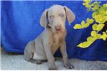 Picture of Dallas: Male AKC Weimaraner Puppy