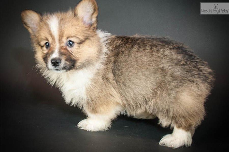 Welsh corgi pembroke puppy for sale near akron canton ohio previous picture next picture altavistaventures Image collections