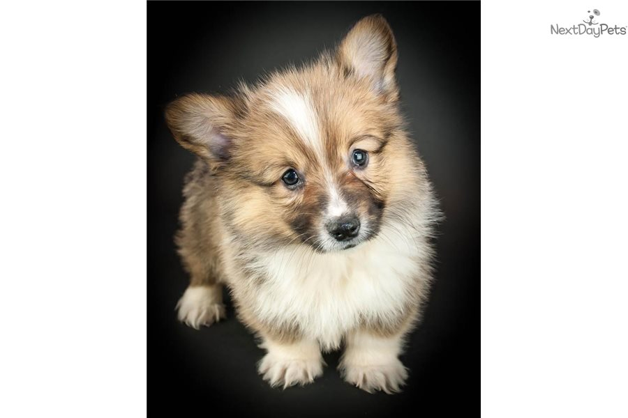 Welsh Corgi Pembroke Puppy For Sale Near Akron Canton Ohio D2b14d5c 3421