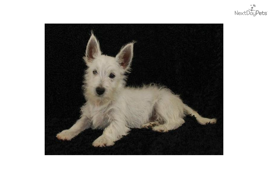 Meet Wesley Westie A Cute West Highland White Terrier