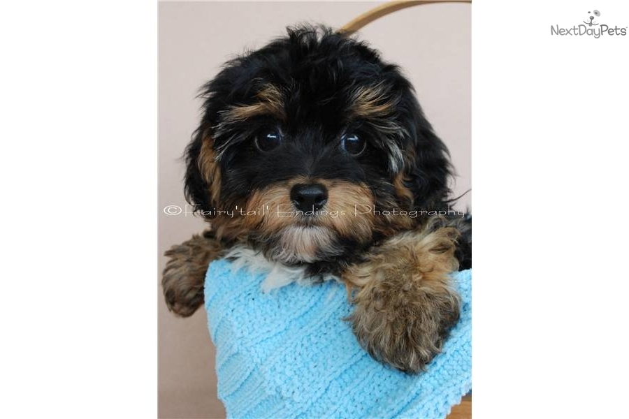 Yorkiepoo Yorkie Poo Puppy For Sale Near Akron Canton