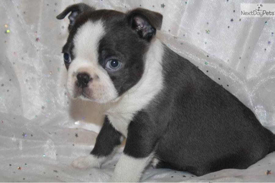 blue boston terrier puppies blue boston terrier puppy for sale near springfield 3641