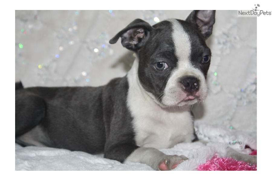blue boston terrier for sale meet blue berry a cute boston terrier puppy for sale for 4063
