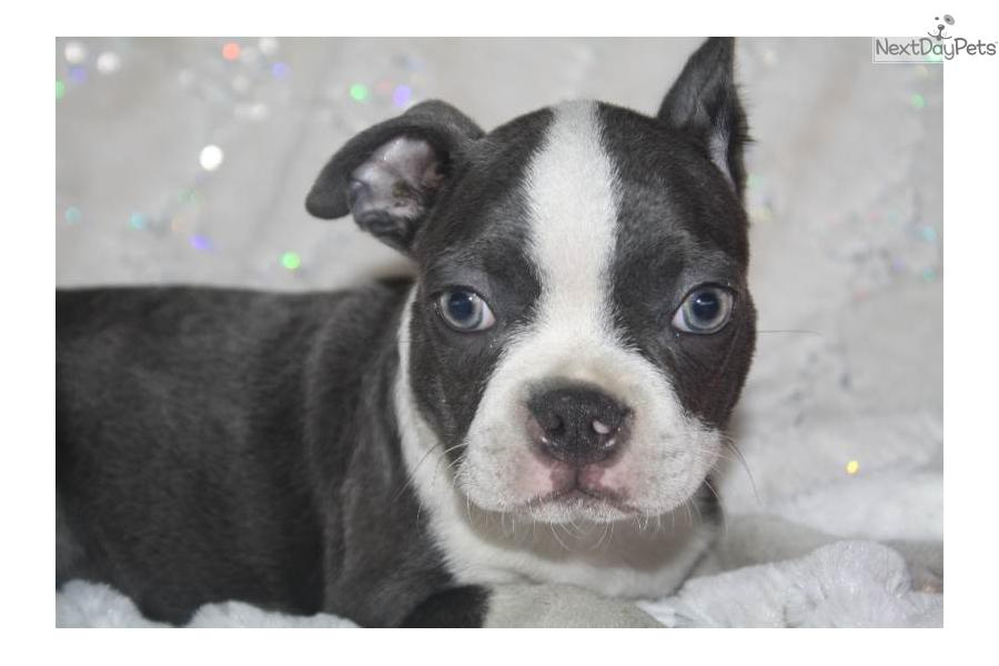 blue boston terrier for sale meet blue berry a cute boston terrier puppy for sale for 7491