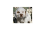 Picture of a Clumber Spaniel Puppy